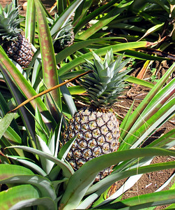 HUAHINE, POLYNESIA - As we continued our exploration of the jungle trail, we came upon a pineapple plantation.