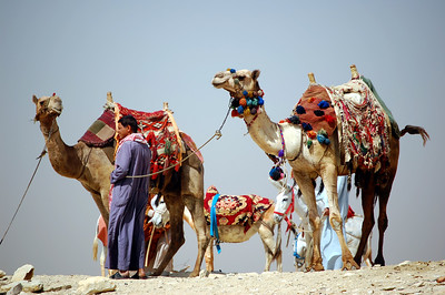 """SAQQARA - Something like a """"taxi stand,"""" more camels could be seen on the horizon at Saqqara.  At many of the ancient sites, camels are available to transport tourists on excursions in, around, and sometimes away from the site."""