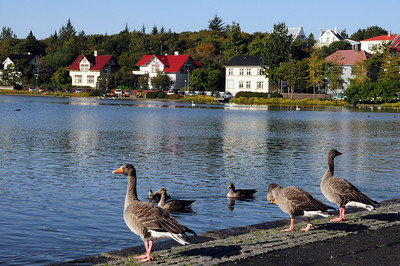 "In the center of the city is the Tjörnin, a small lake.  Literally, the word Tjörnin means ""the pond"" in Icelandic.  It is home to more than 40 species of waterfowl."