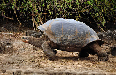 """They are, in fact, the creatures that gave the Galapagos its name.  Spanish sailors who discovered the archipelago in 1535 thought that the shells of the tortoises resembled Spanish saddles.  The old Spanish word for saddle is """"galapago."""""""