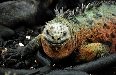 They are probably the most maligned of the Galapagos creatures...