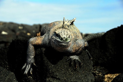 """...so homely even Charles Darwin described them as """"hideous-looking"""" and """"most disgusting, clumsy lizards."""""""