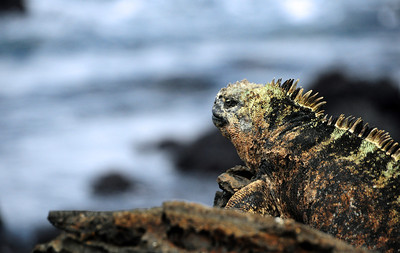 ... waiting for low tide, and gathering strength for their deep plunges to the seafloor to feed on coastal seaweed.