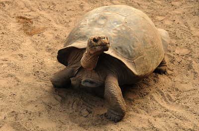 ...and live to be a hundred years old or more.  Some are known to have lived for 150 years. It is conceivable - though unlikely - that somewhere on the islands lives a giant tortoise that was around when Darwin visited 177 years ago.