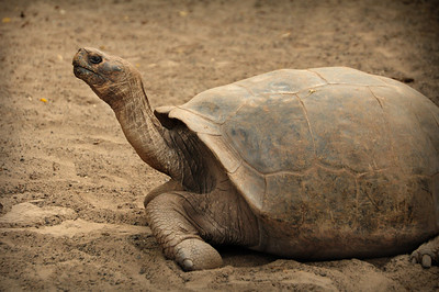 Today the Galapagos giant tortoise is an endangered species.  Hunted as food by pirates, whalers, and merchantmen, more than 100,000 tortoises are estimated to have been killed off in the 17th, 18th and 19th centuries.  Today only about 15,000 remain.