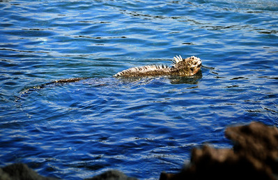 Scientists figure that land-dwelling iguanas from South America must have drifted out to sea millions of years ago on logs or other debris, eventually landing on the Galápagos. From that species emerged marine iguanas, which spread to nearly all the islands of the archipelago.