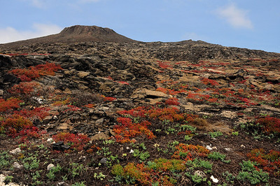 Eventually, as the lava fields break apart over thousands of years, more plants take root.  Each Galapagos island takes on its own character, depending largely on its age and the presence of moisture.