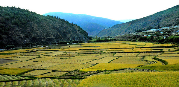 Creating a mosaic of green, virtually all the valleys of Bhutan are planted in rice.