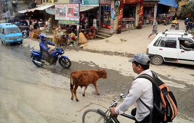"""And yes, in this Hindu nation unattended """"sacred"""" cows wandered unimpeded through the streets."""