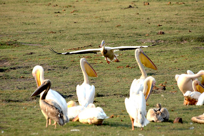 A great white pelican glides in for a landing.