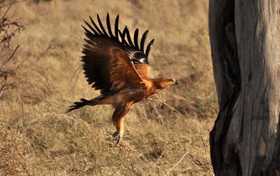 A Tawny Eagle takeoff