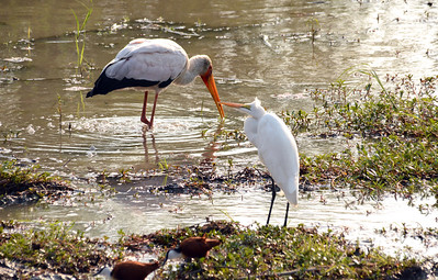 A yellow-billed stork (top) and a yellow-billed egret.