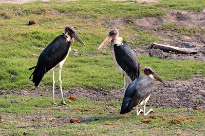 More Marabou Storks