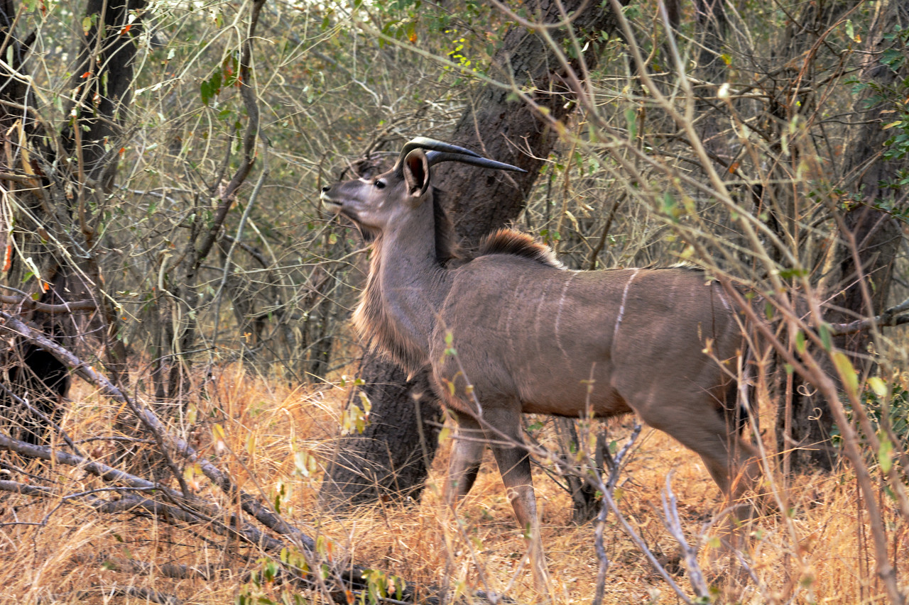 The kudu learns early on to tilt its chin up and lay the horns against the back, allowing it to move easily through dense bush.
