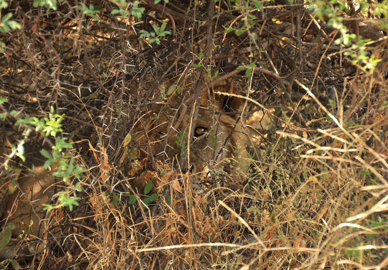 "Where there is one lion, there are likely others.  Hiding in some nearby bushes was another lion.  The locals call these the ""eyes of death."""