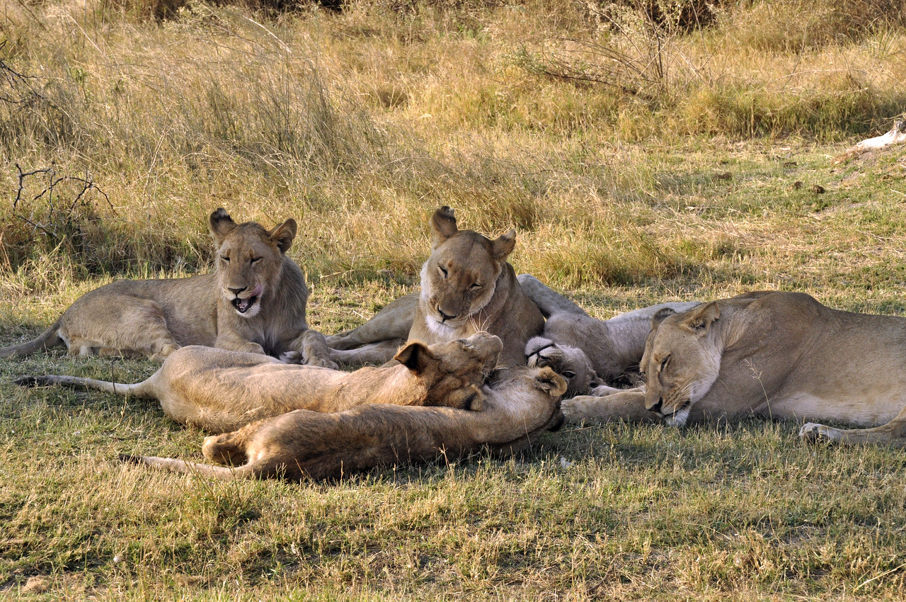 A pride is centered around the females, all related lionesses.
