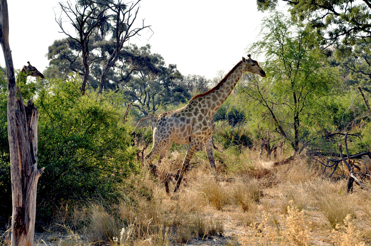 Except for this one.  The giraffe – the world's tallest animal...