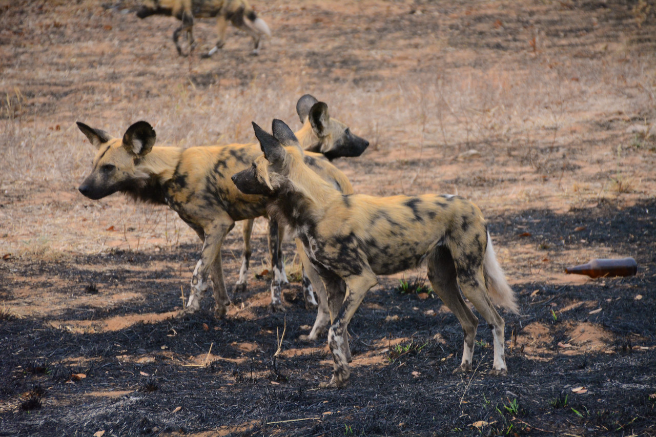 Or this pack of wild painted dogs.  One local who had lived in the region for years told us she had never seen one.