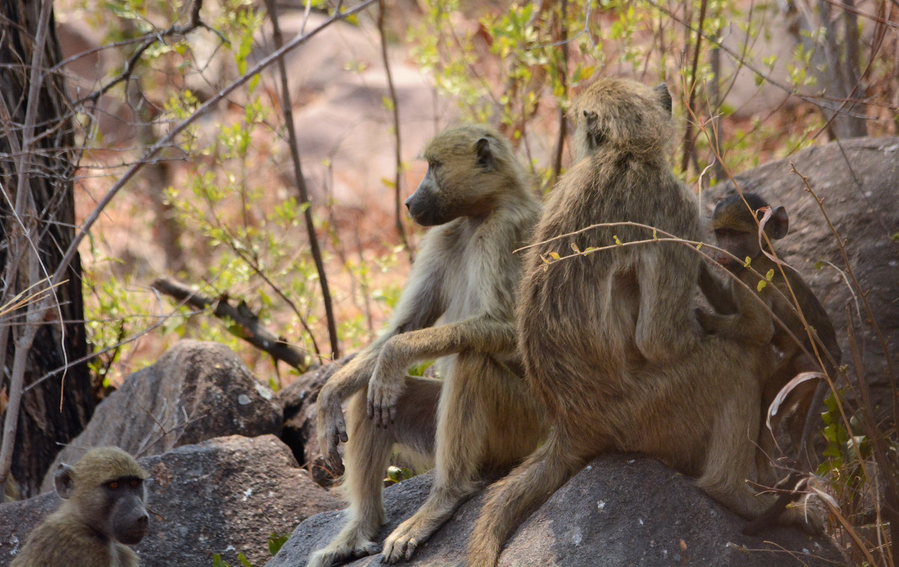 And around midday, baboons would often stop for several hours of rest - and to watch passing safari groups.