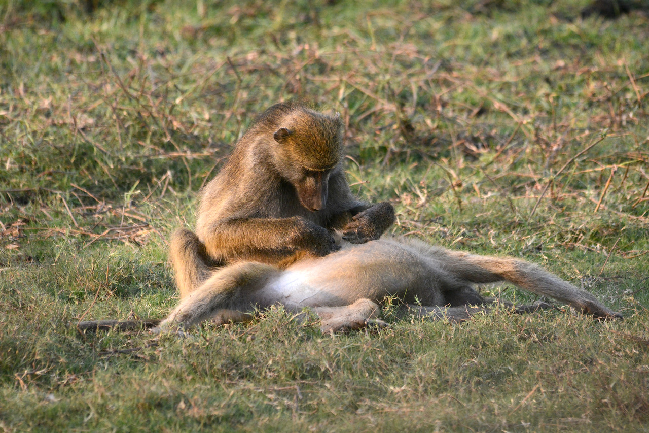 Often we would see baboons stopping to groom themselves and each other.