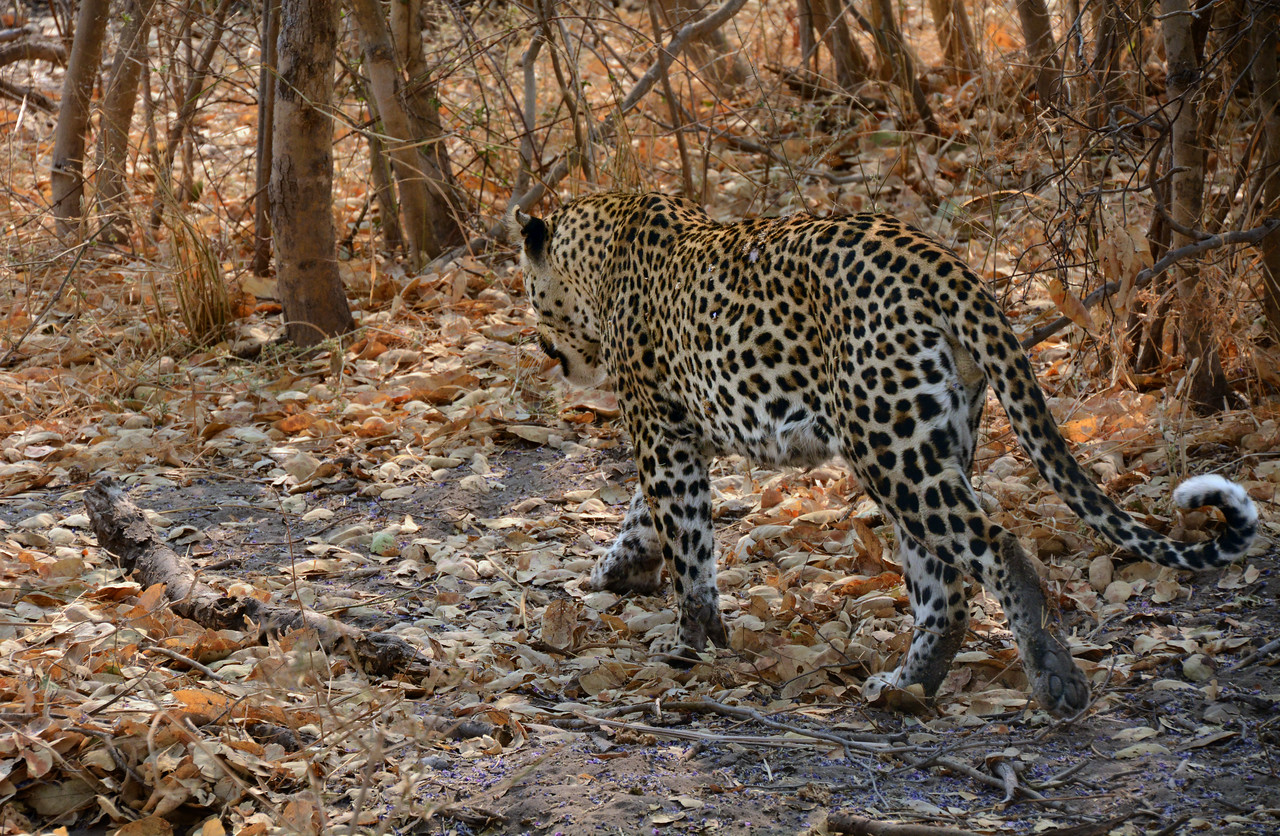 Soon the leopard had enough of our camera-clicking and moved to a new spot.  But now we saw how its spots blended in with the speckled woodland.