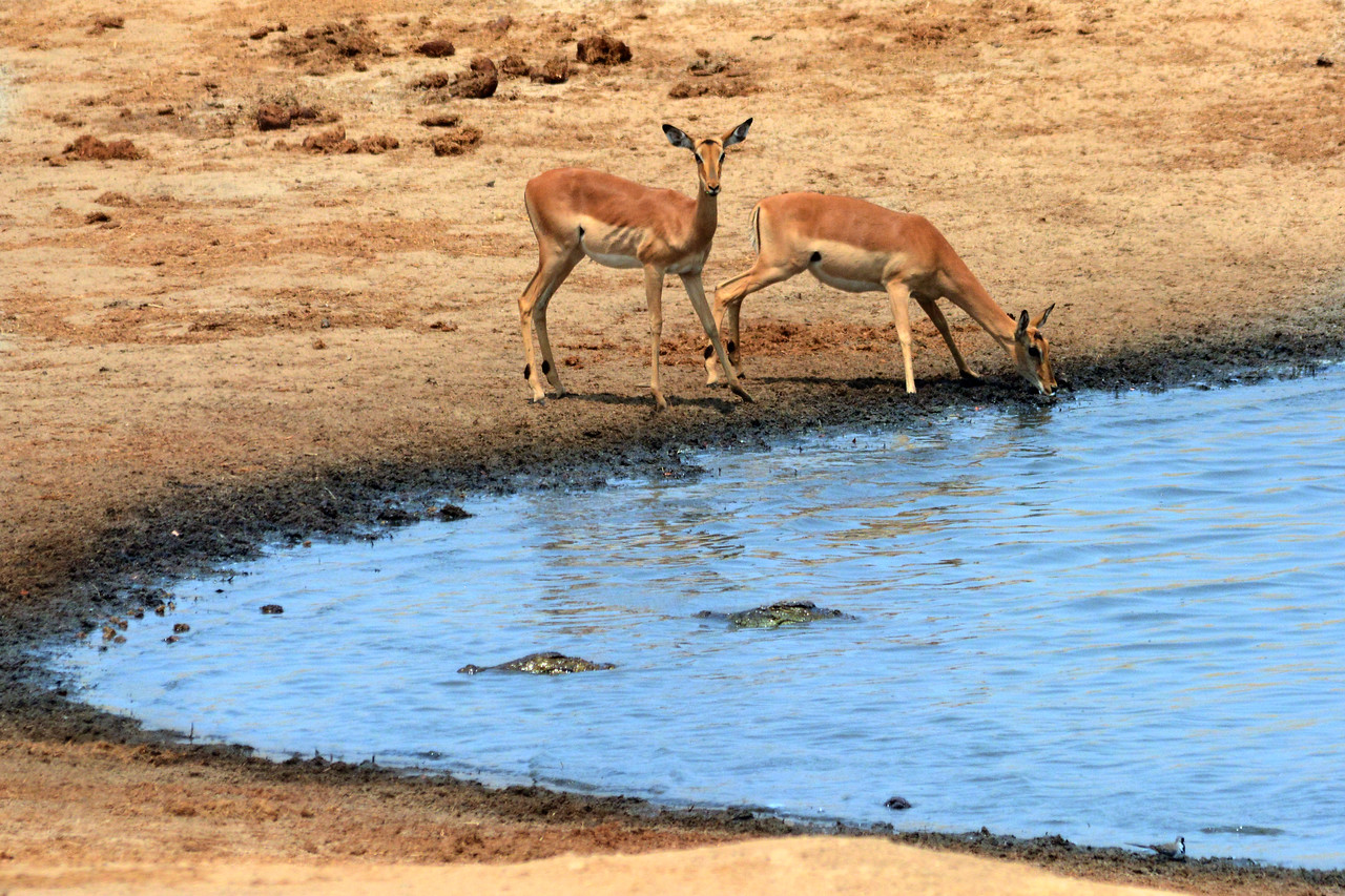These impalas must have thought they would be quicker than the crocodiles lurking nearby.