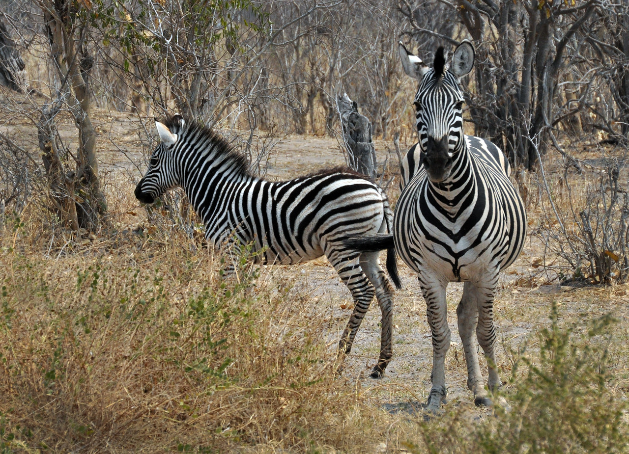 No two zebras have the same pattern of stripes.
