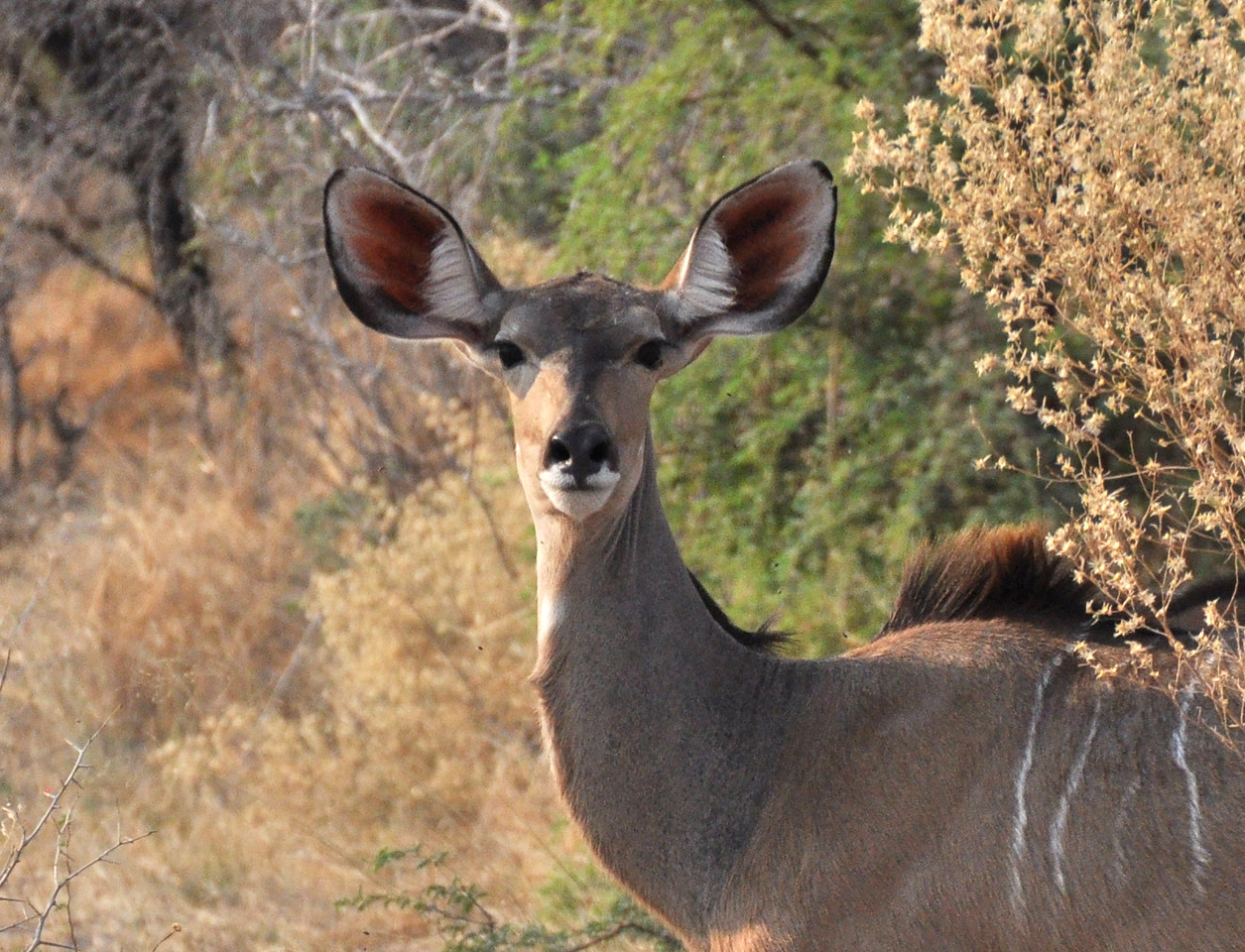 For the first year of his life, a male kudu's most prominent features are its ears – large and round.