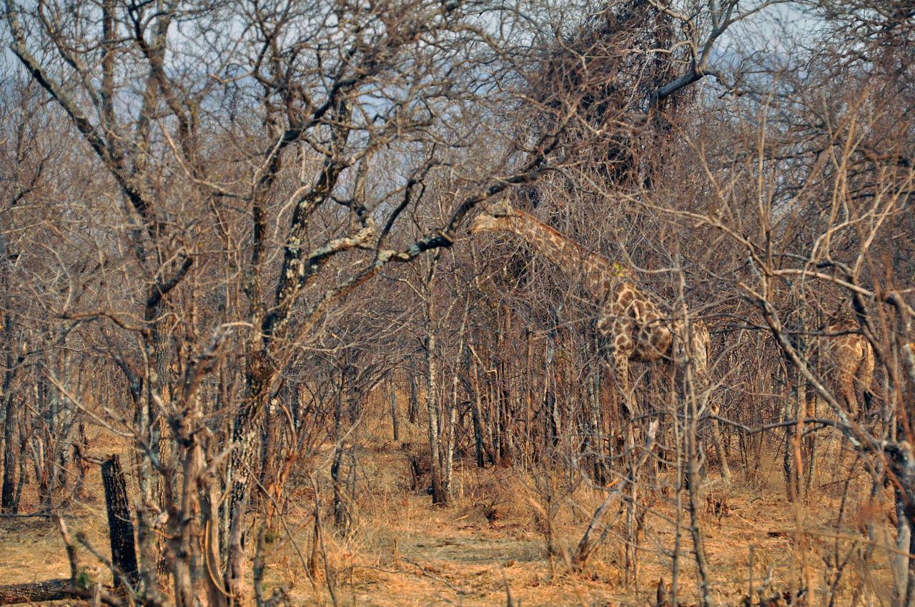 Another example of the giraffe's natural camouflage.