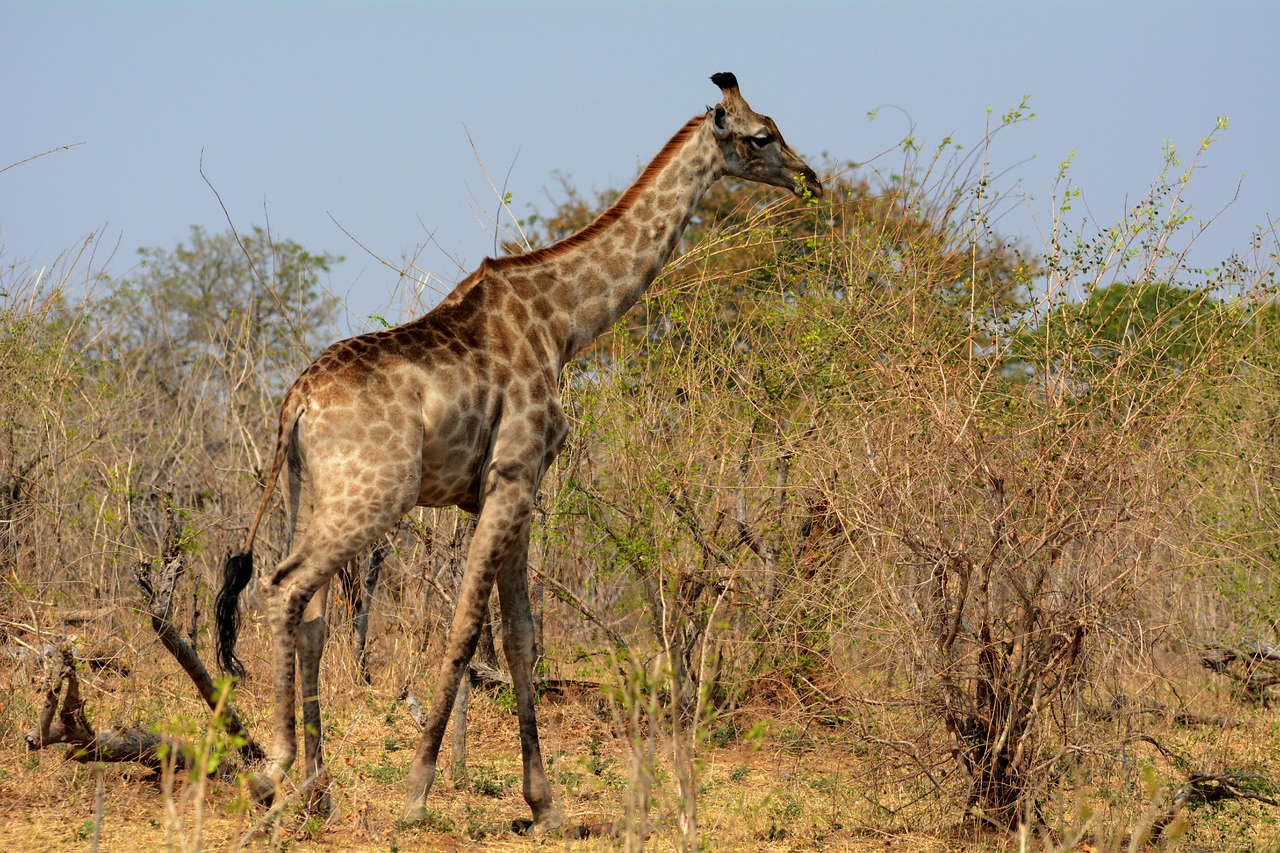 And while other African herbivores compete for grass and small plants to eat, giraffes have the high branches all to themselves.