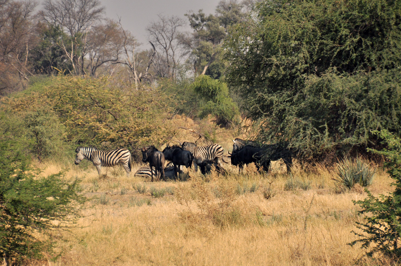 A few hundred yards away, several zebras and wildebeests congregated in the woodland.  Were they the cheetah's target?