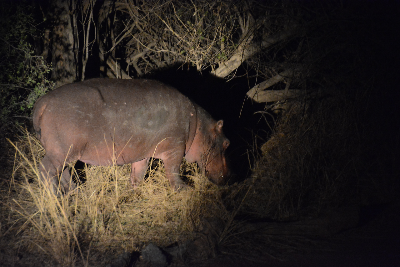 Good thing, too.  Because one evening, along the roadway into our camp, our searchlights caught a baby hippo.  The mother was undoubtedly somewhere close.  You do not want to get between a mother hippo and her baby - especially at night!
