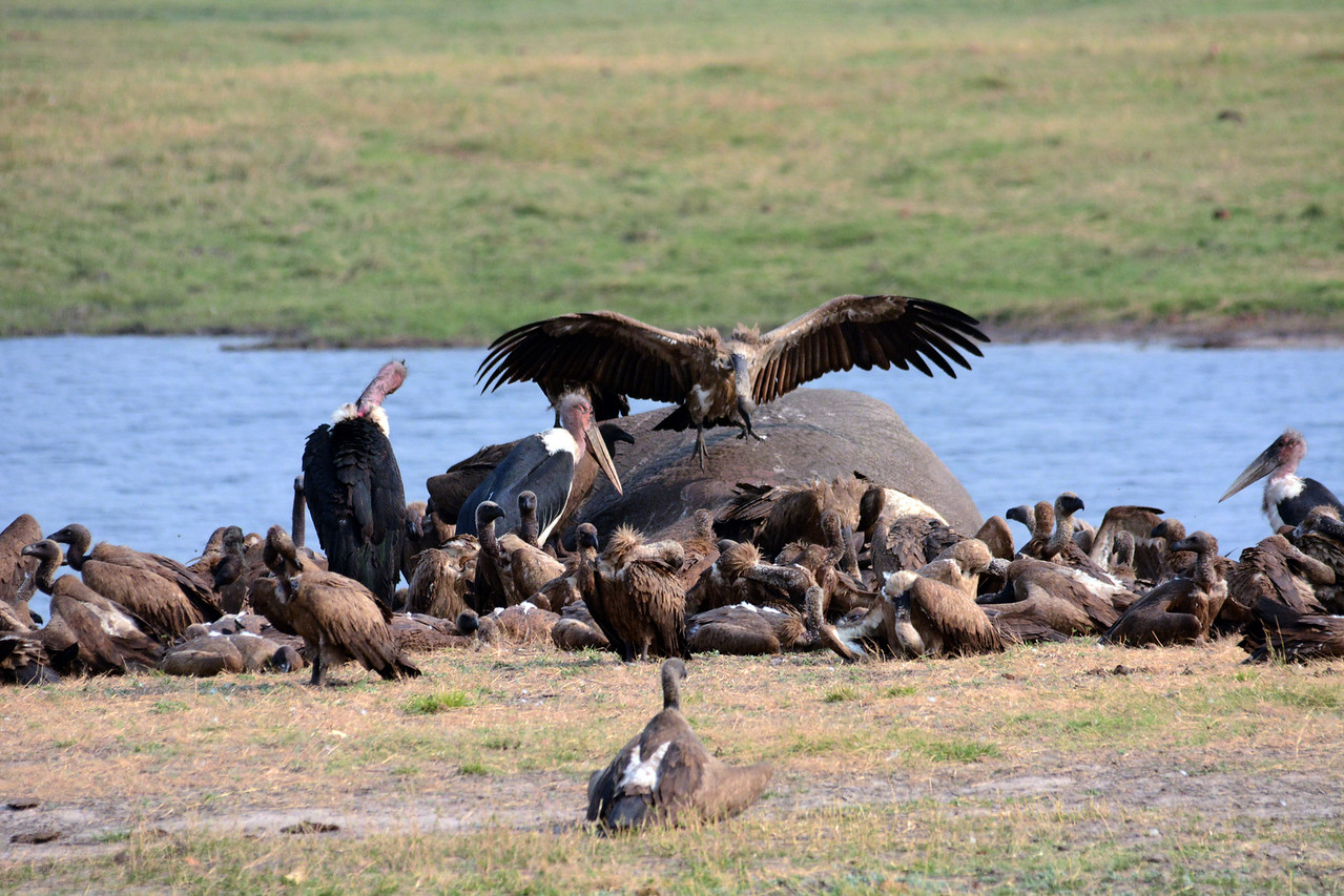 So the poachers lace the carcasses of elephants and other game with cyanide or pesticides so the birds die before they can take to the skies again.  In parts of southern Africa, vulture populations have fallen by as much as 80 percent.