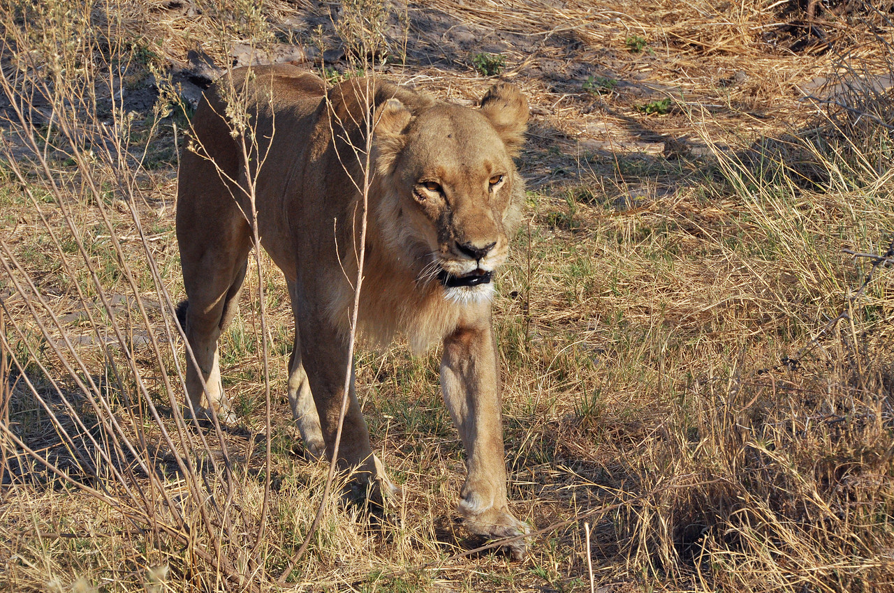 A lioness approaches our vehicle.  We don't stand up!