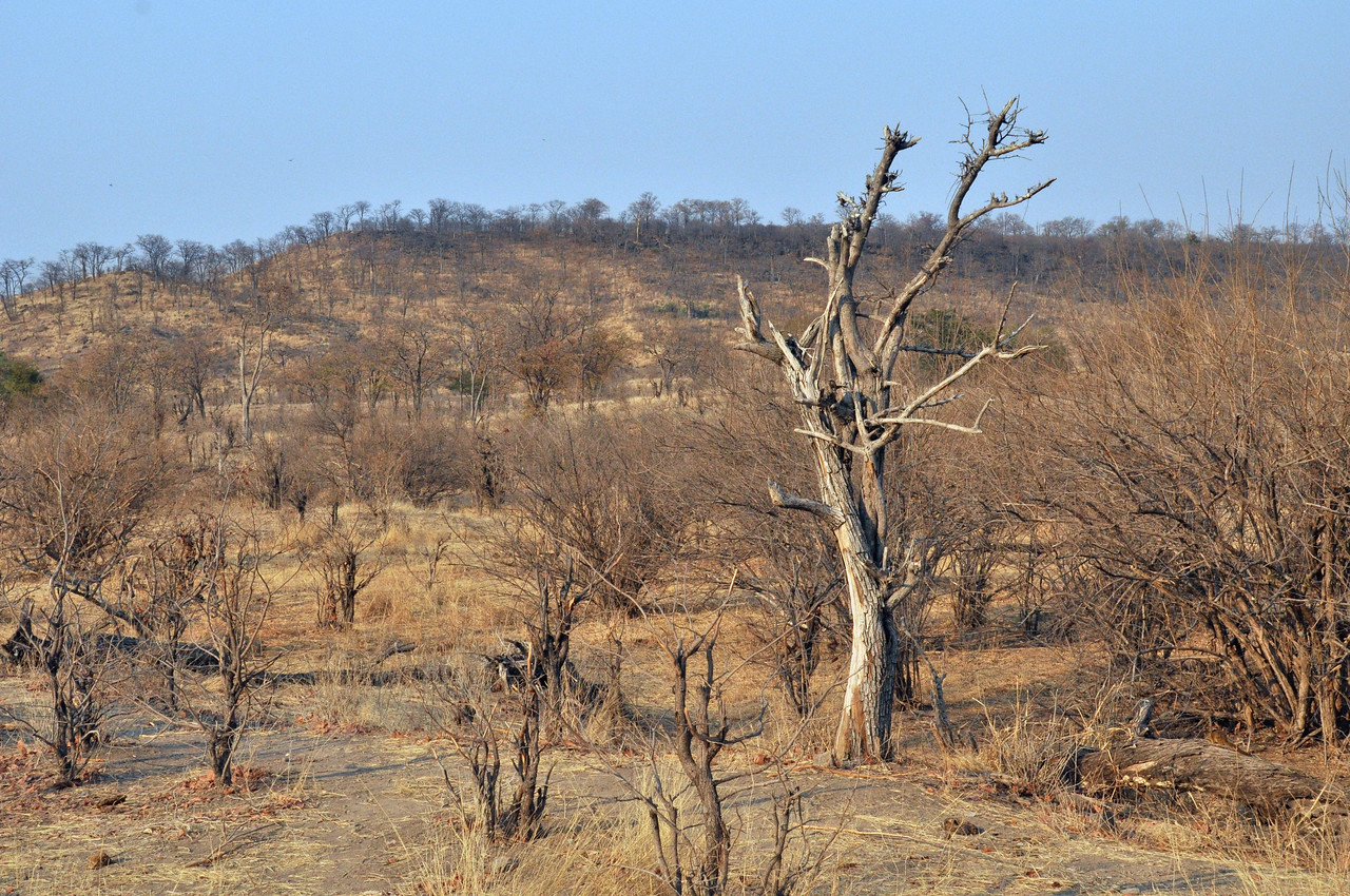 The southern Africa savannah is a vast region of yellow grassland and small trees...