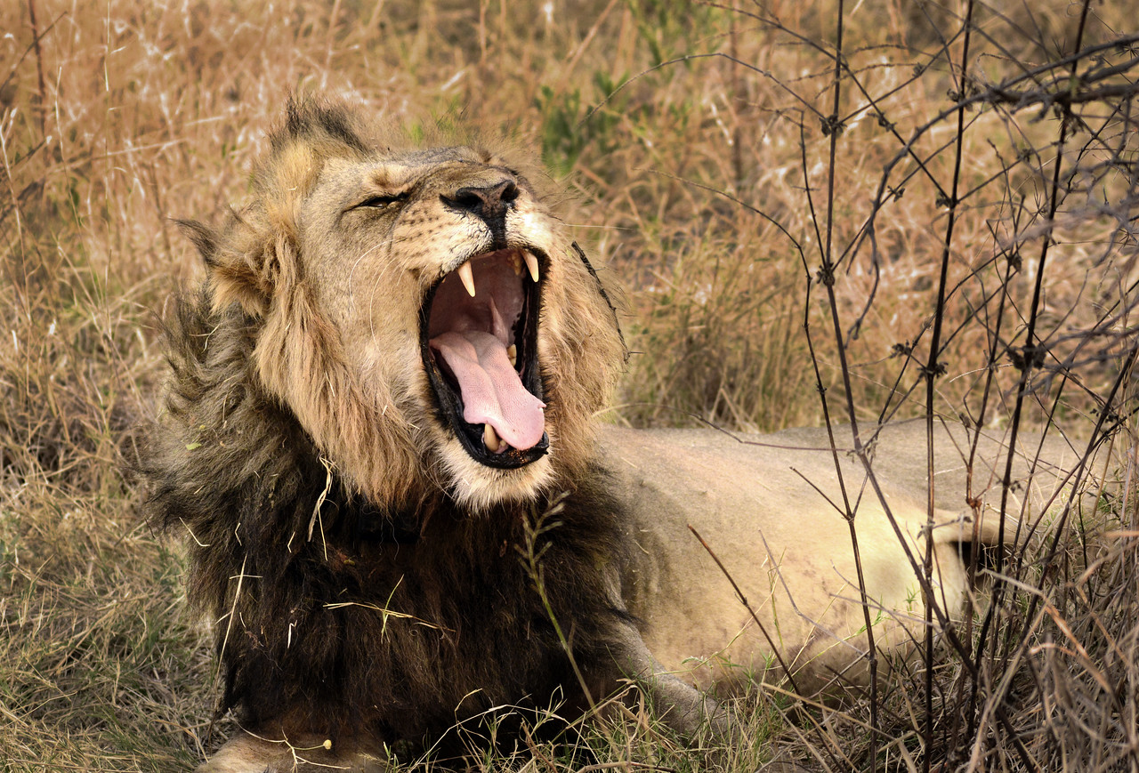 As we approached, the lion welcomed us with a mighty roar (actually it was a yawn).