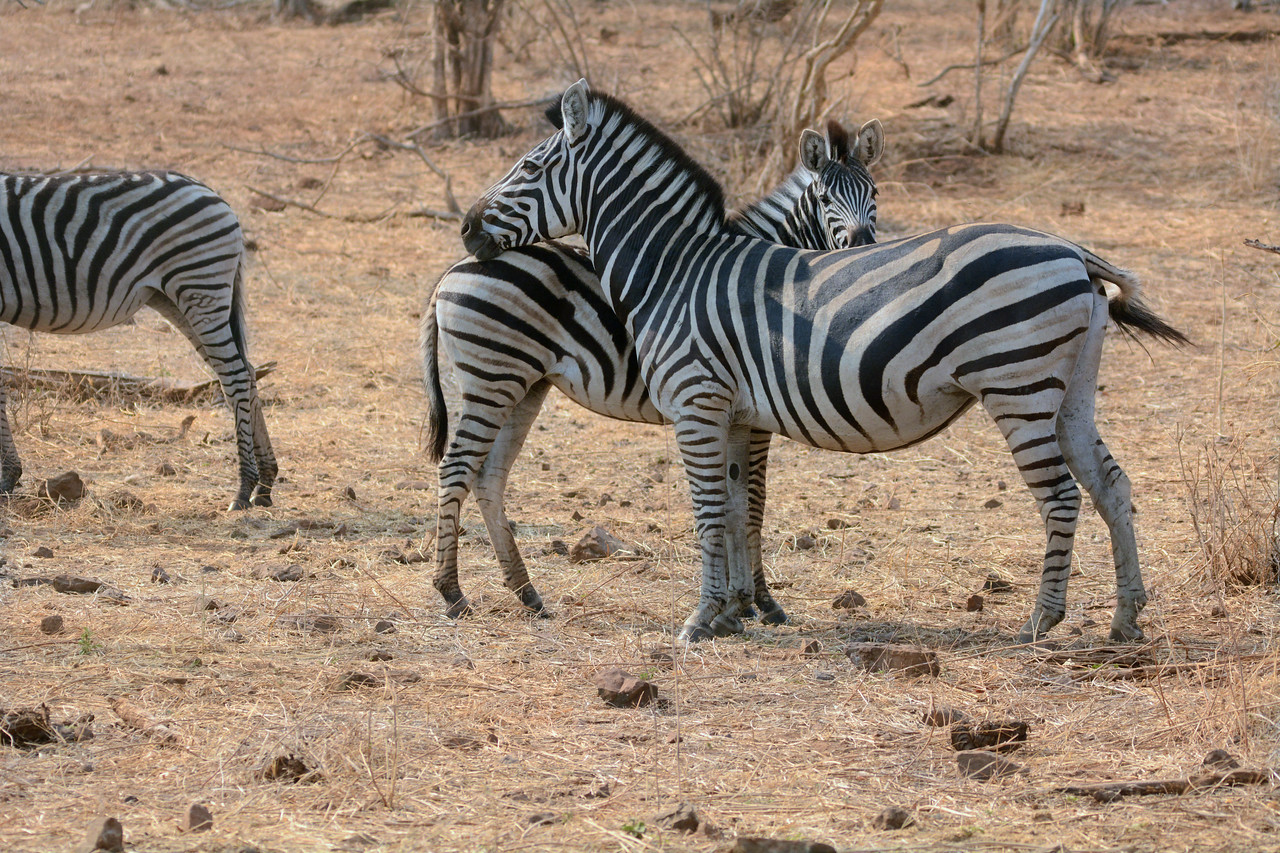 Young zebras identify their mothers by the stripe pattern. In fact, when a baby zebra is born, the mother will shield it from other zebras to ingrain her unique pattern in her offspring's brain.