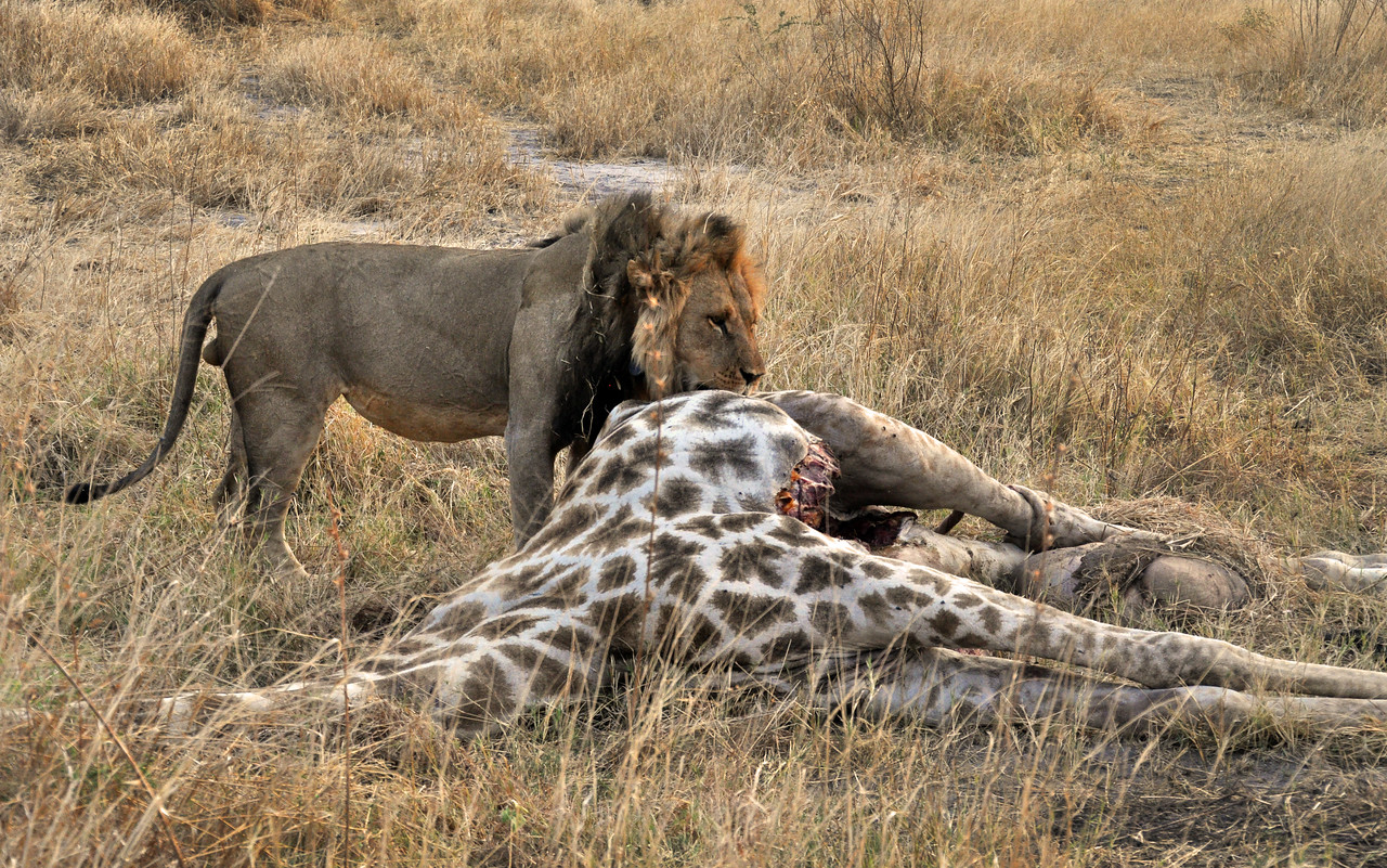 This giraffe had fallen prey to a lion attack the previous evening.