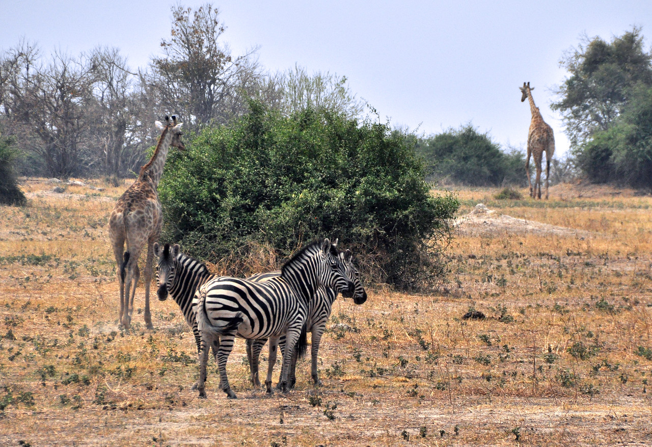 Perhaps these zebras are using their taller companions as lookouts for predators?