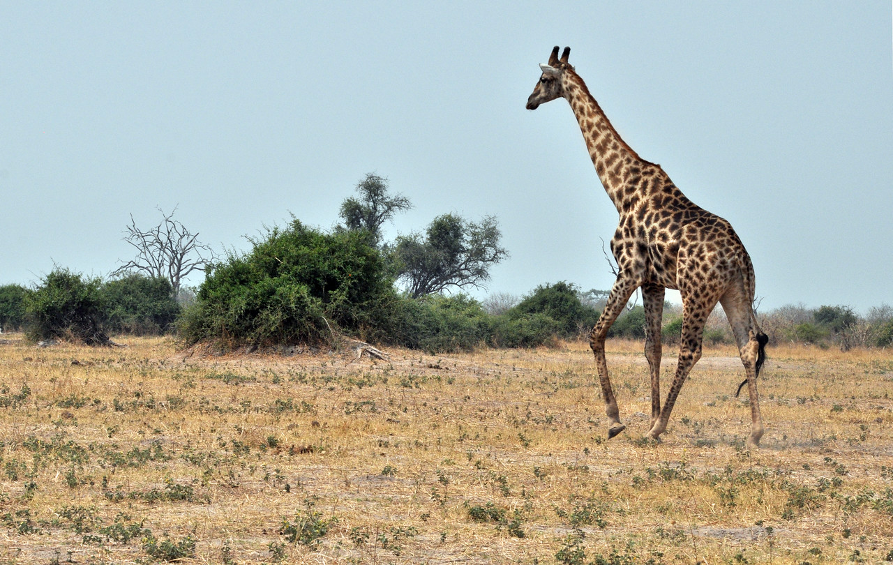 But the world's tallest mammal is struggling to find space to live.  As human populations grow and increase agricultural activities, expand settlements, and construct roads, the giraffe is losing its favored acacia trees, its main source of food.