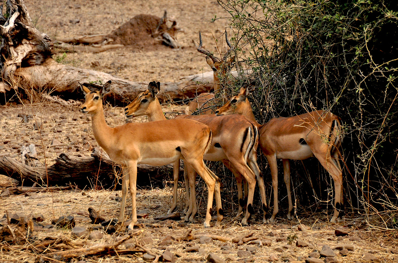 They are a guide's best friend.  They are seemingly everywhere.  If a game drive discovers nothing else, an impala sighting is almost a sure thing.