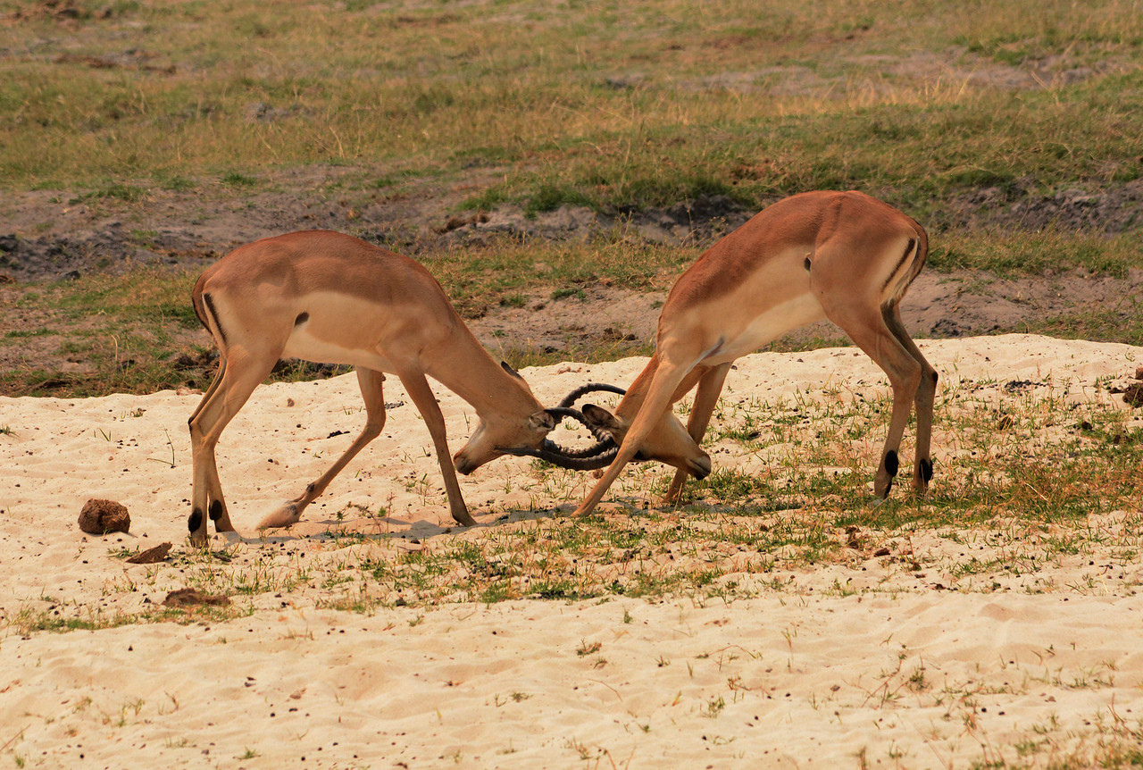 During the impalas' mating season, a male will fight off his challengers...