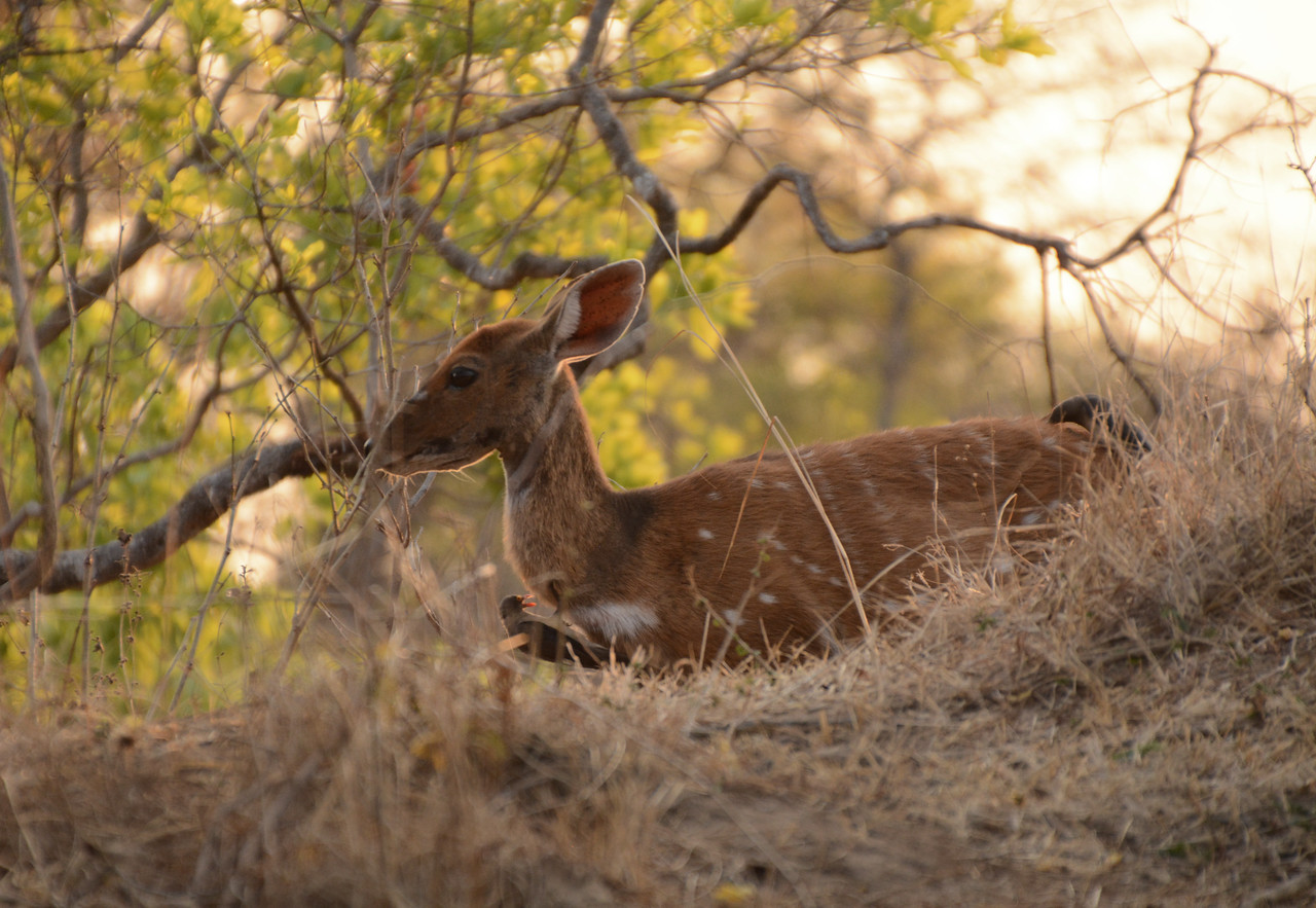 Some of the savannah's wildlife almost begged to be seen - the diminutive bushbuck, for example, grazing nonchalantly beside our roadway...