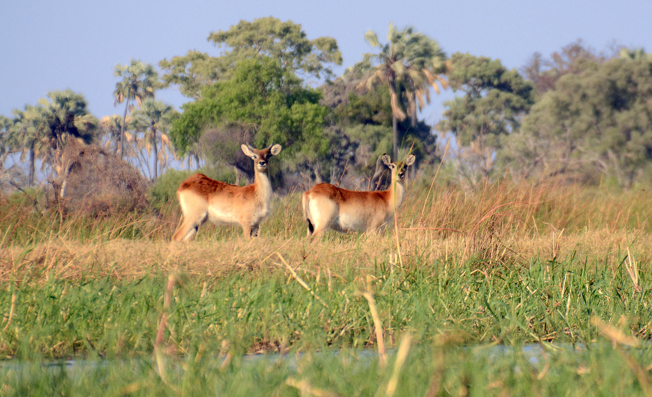 "In the far distance in the Okavango marshland, we spied two red lechwe.  Lechwe is the native Bantu name for ""antelope."""