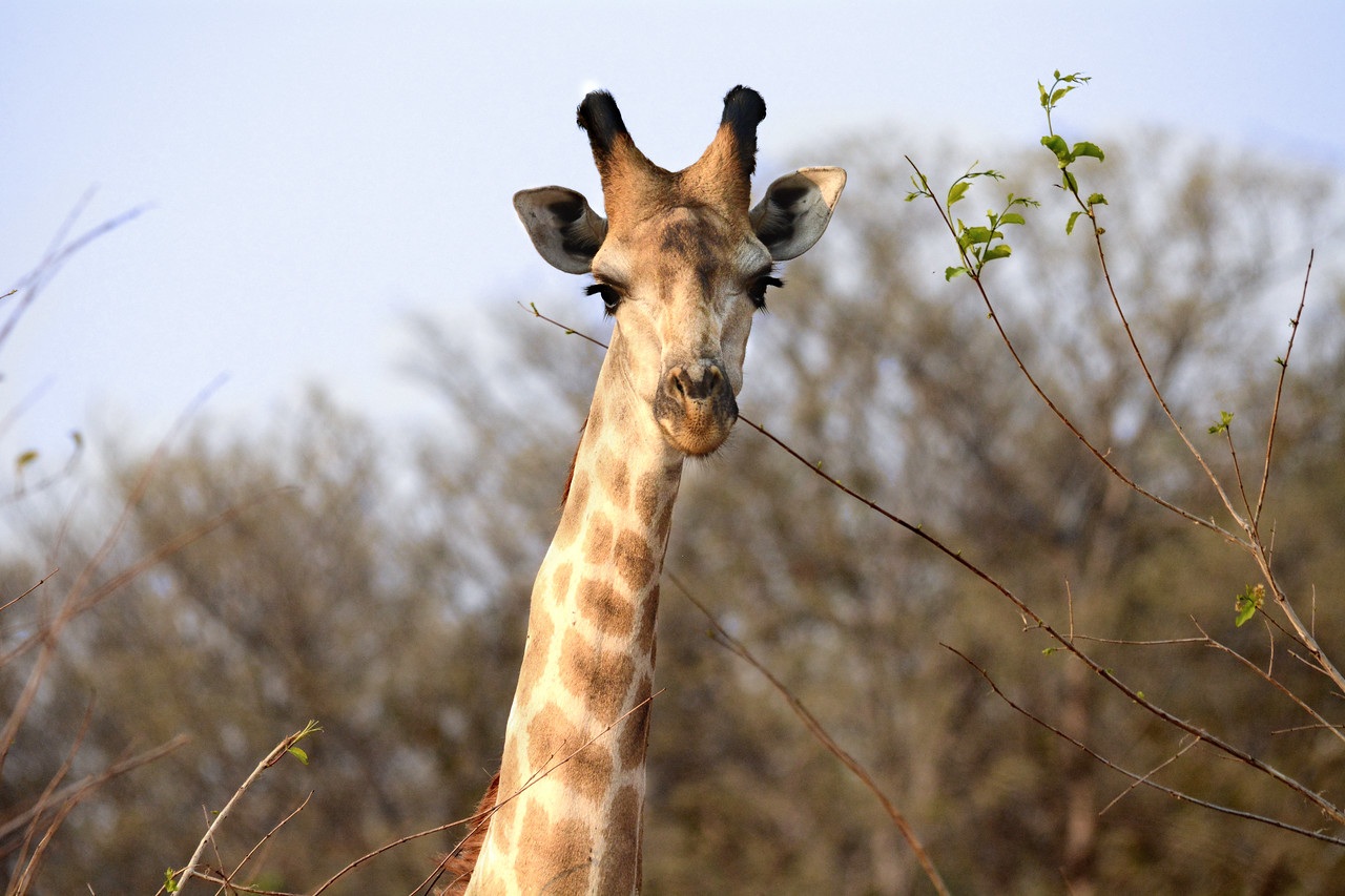 At times a giraffe would seem as interested in us as we were in it.