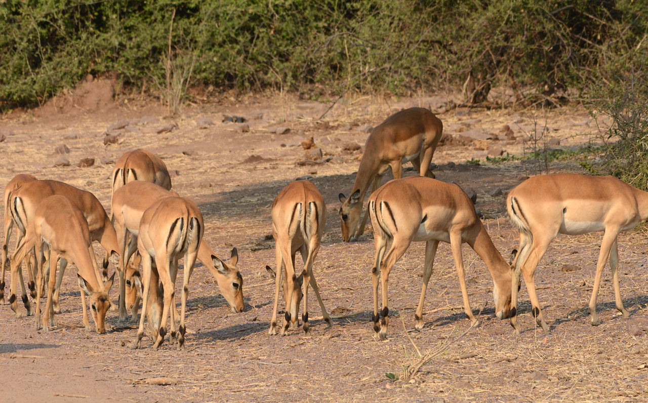 "Impalas have acquired the nickname of ""MacDonalds"".  A look at their backsides shows their distinctive ""golden arches."""