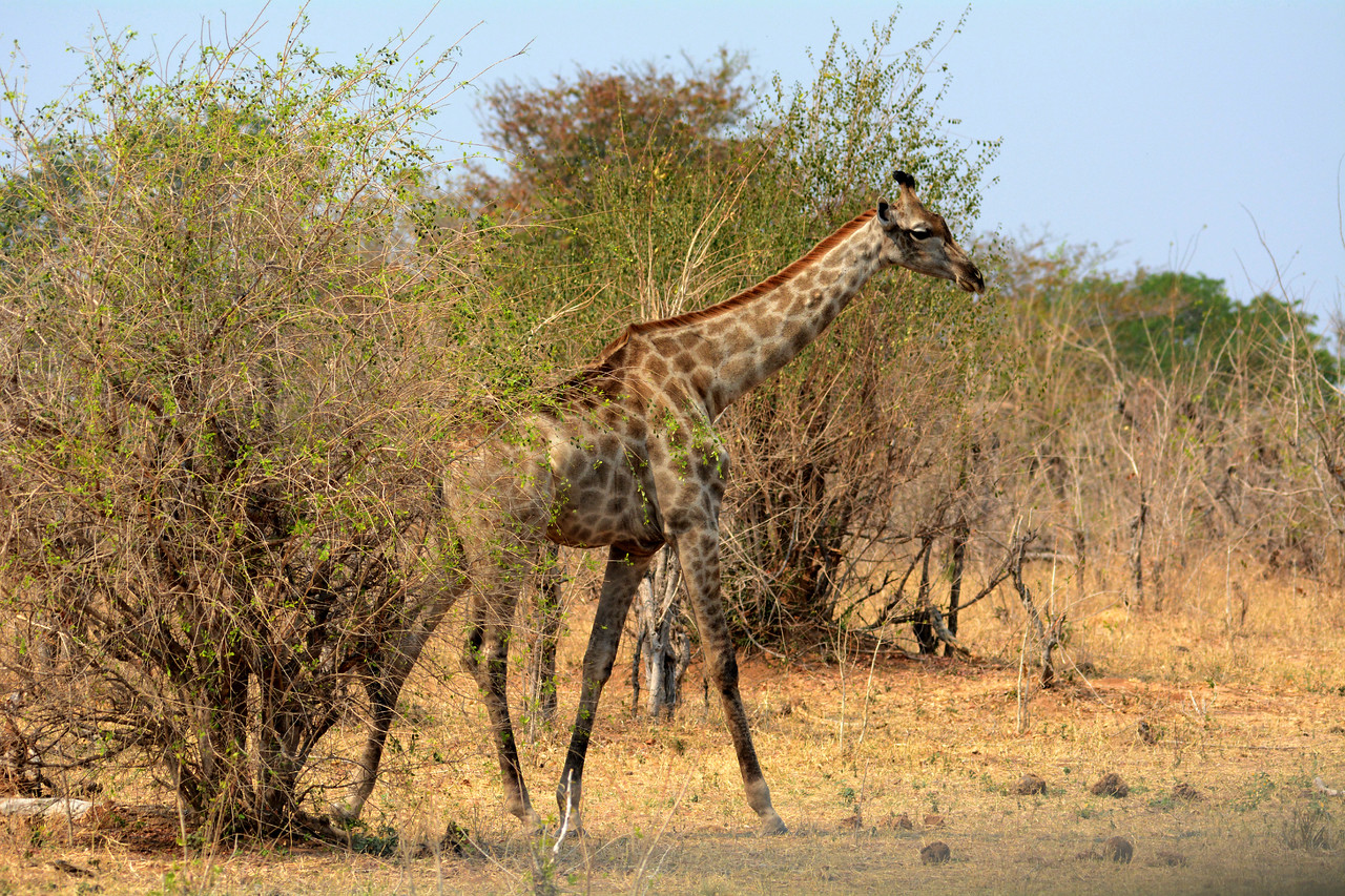 Adult giraffes have no serious predators in Nature other than lions.  Attacked they will defend themselves vigorously, stamping their forelegs like clubs.  A single kick can kill a lion.