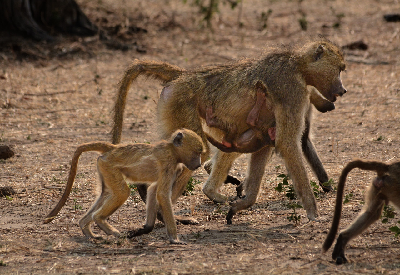 By the time the young baboon is 4 to 6 months old, it is generally on its own...