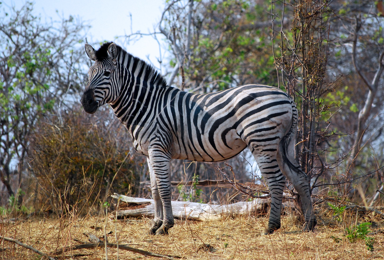 Why haven't zebras been domesticated like horses?  One reason is that while they may look sturdy, their backbone is too weak to carry a human, or for that matter, a heavy load.