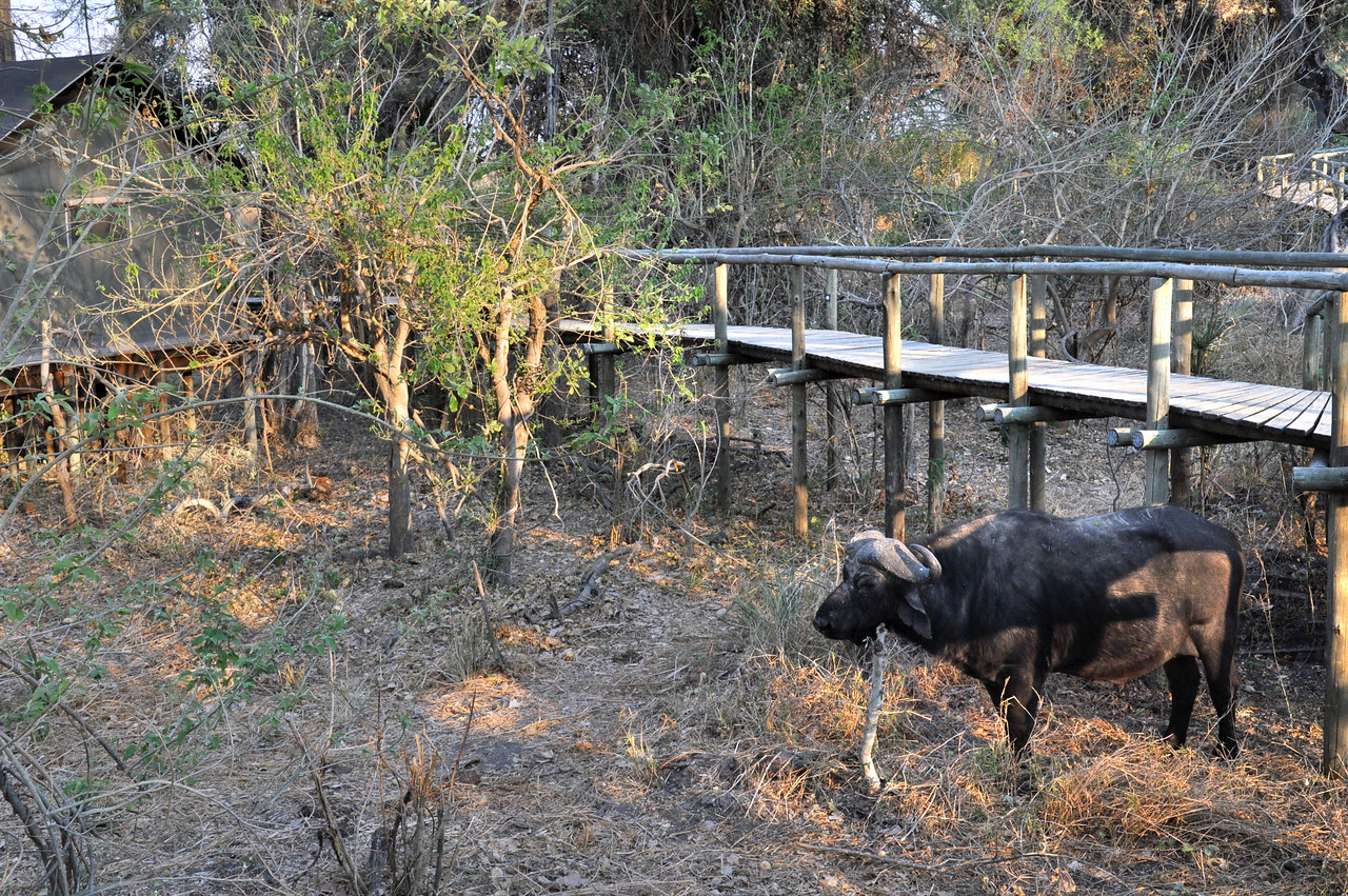 One afternoon in the Okavango Delta camp, we found a Cape buffalo casually grazing near the walkway leading to our tent.
